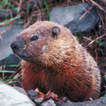 Bicycle City - Hospitable for Animals - Beaver